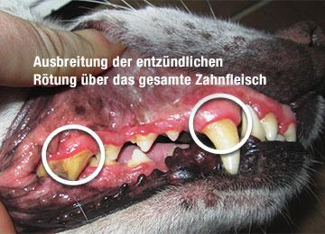 Hund Bandit Zahnfleischentzündung