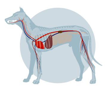 Zusammenhang innerer Organe mit dem Hundemaul